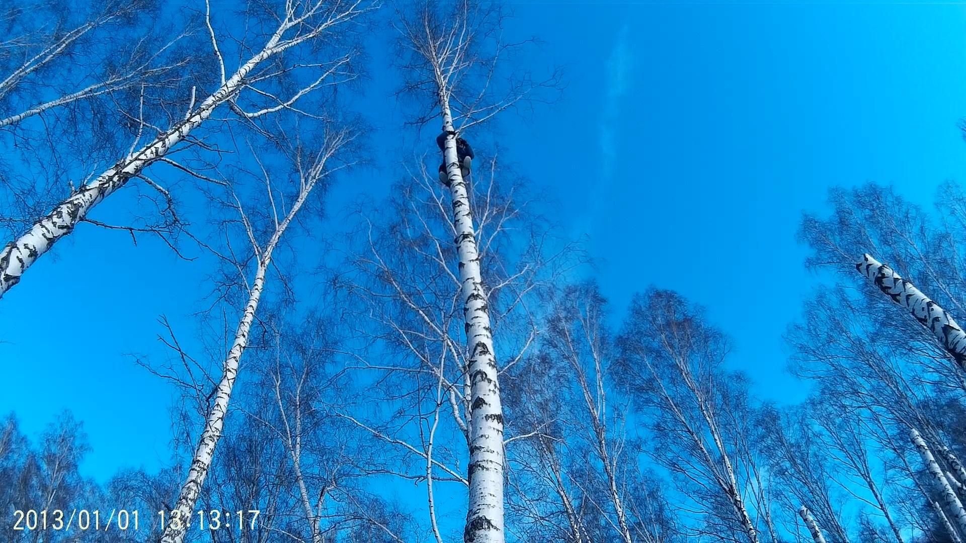 спил берез в Рязанской области